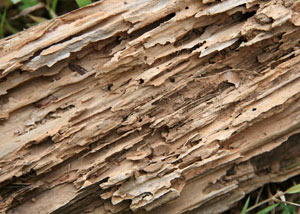Termite-damaged wood showing rotting galleries outside of a Salem home